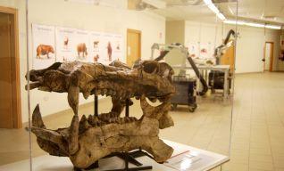 Laboratorio-Museo di Serravalle, testa di Hippopotamus antiquus